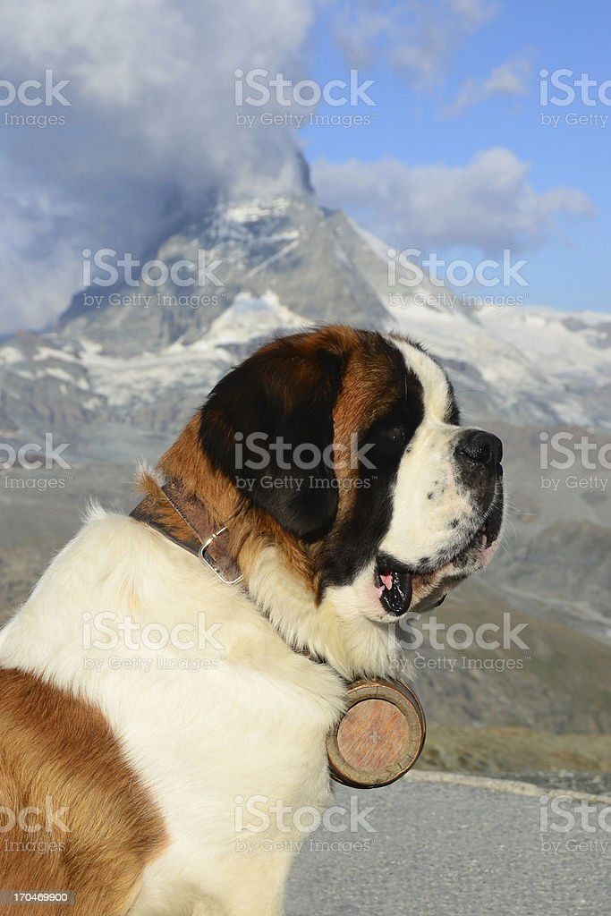 Alpine Saint Bernard Dog stock photo