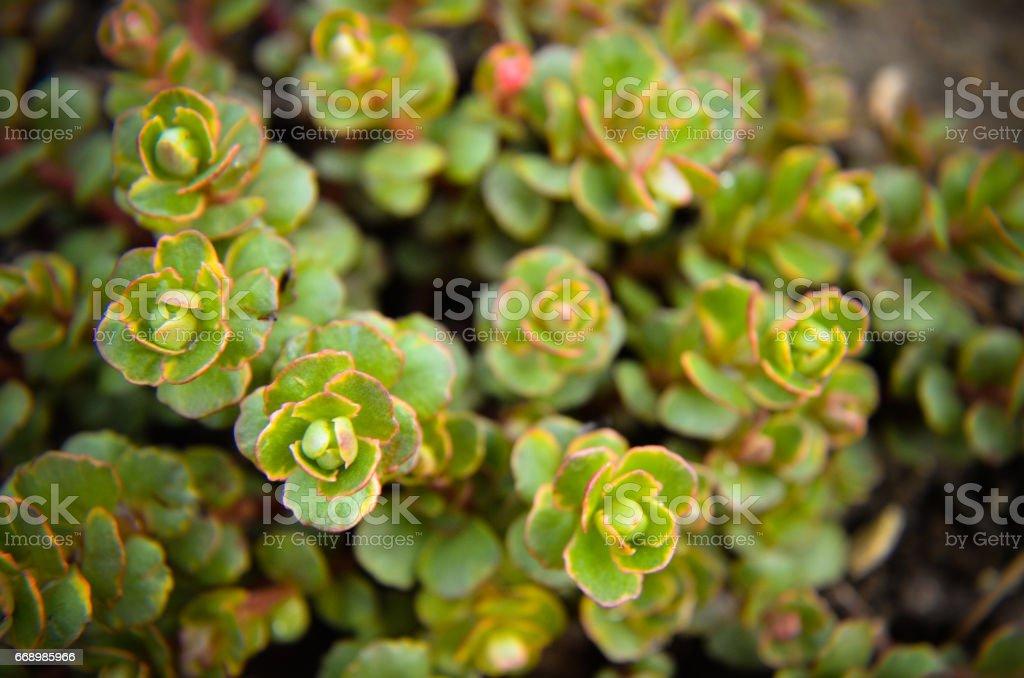 Alpine Saxifrage saxifraga paniculata group stock photo