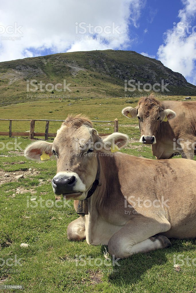 Alpine scene with two cows stock photo