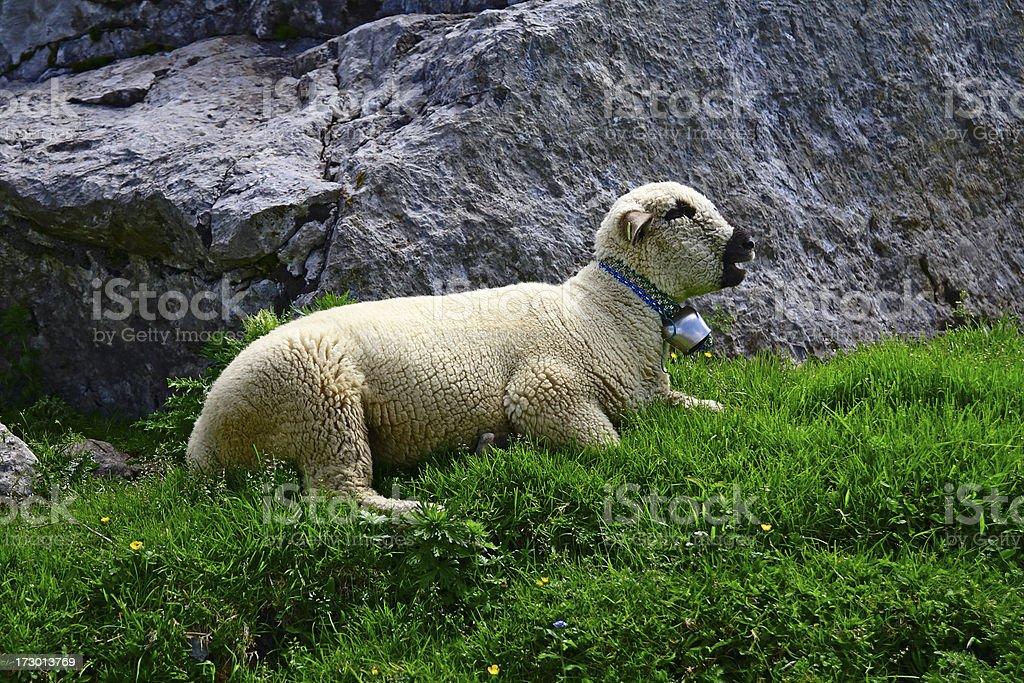 Alpine Sheep royalty-free stock photo