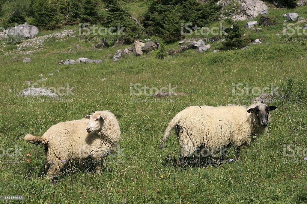 Alpine Sheeps, Les Diablerets Area, Swiss royalty-free stock photo