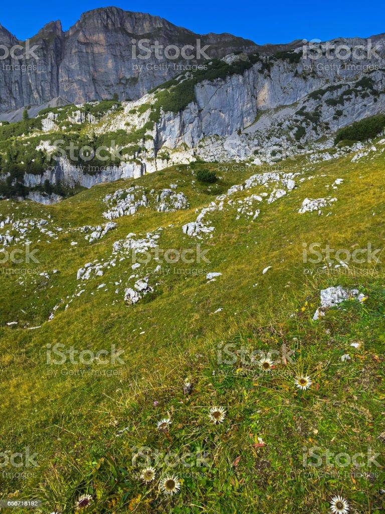 Alpine Silver thistle flower growing at Rofan, Brandenberg Alpine pasture in Tyrol, Austria stock photo