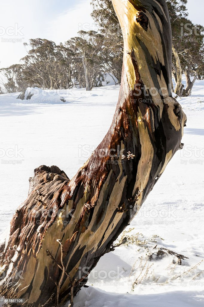 Alpine 'Snow Gum' in Australia's Snowy Mountains region stock photo