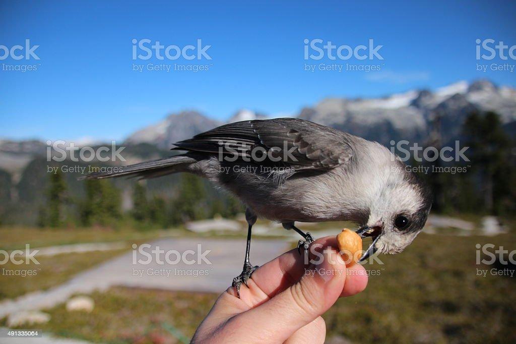 Alpine Songbird stock photo