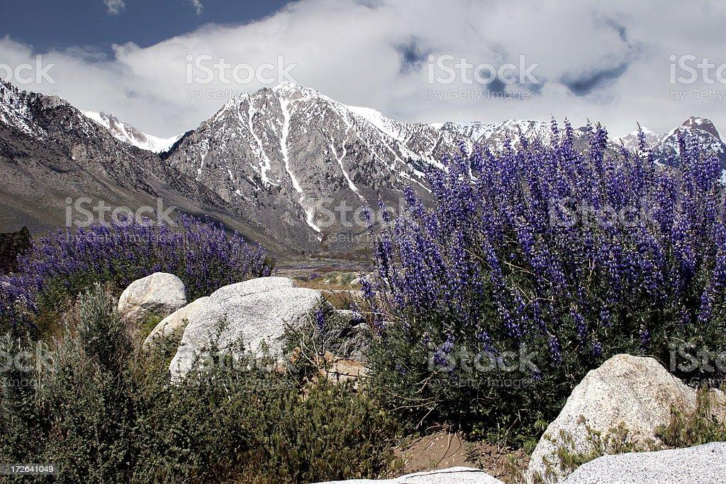 Alpine Wild Flowers stock photo