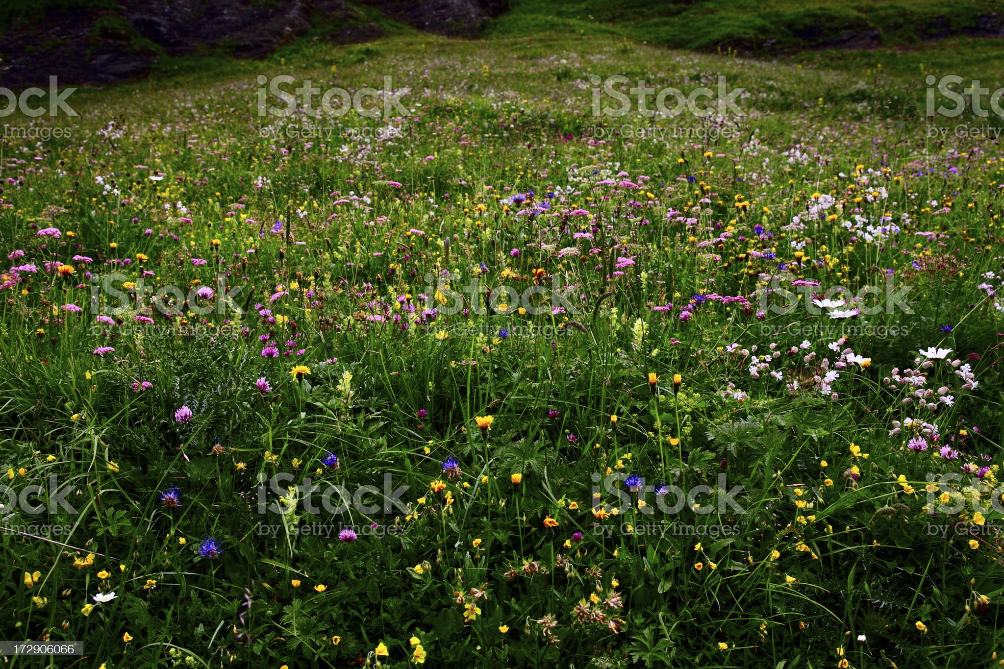 Alpine Wildflowers royalty-free stock photo