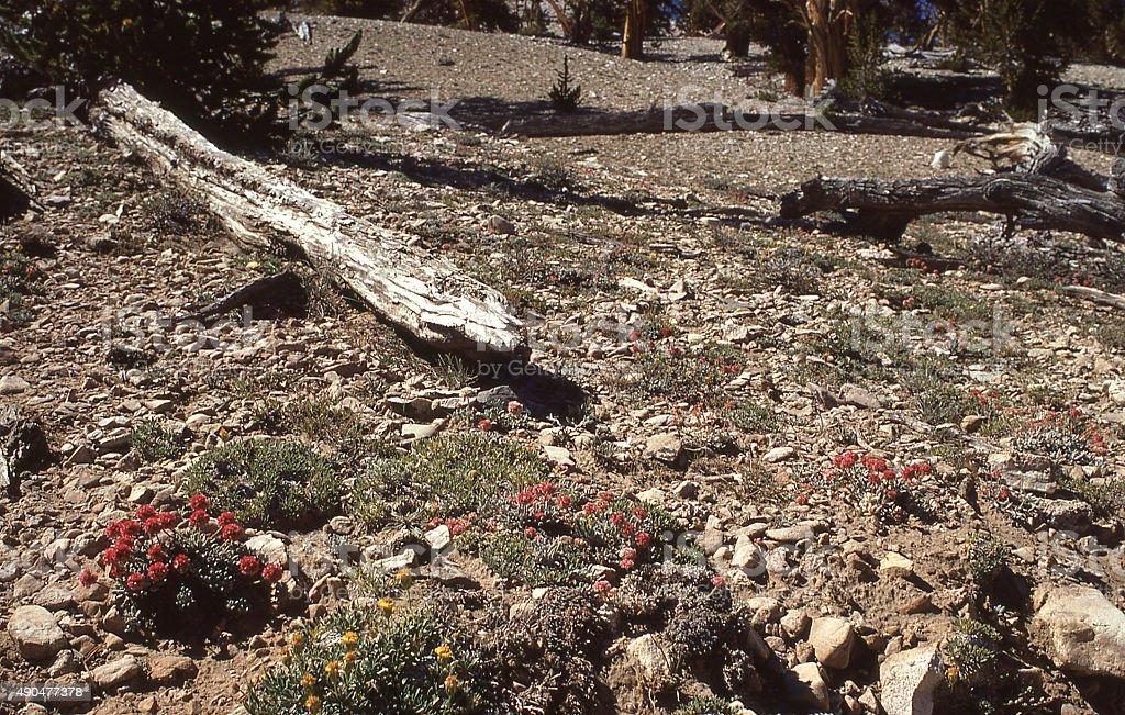alpine zone among the Bristlecone Pines White Mountains California stock photo
