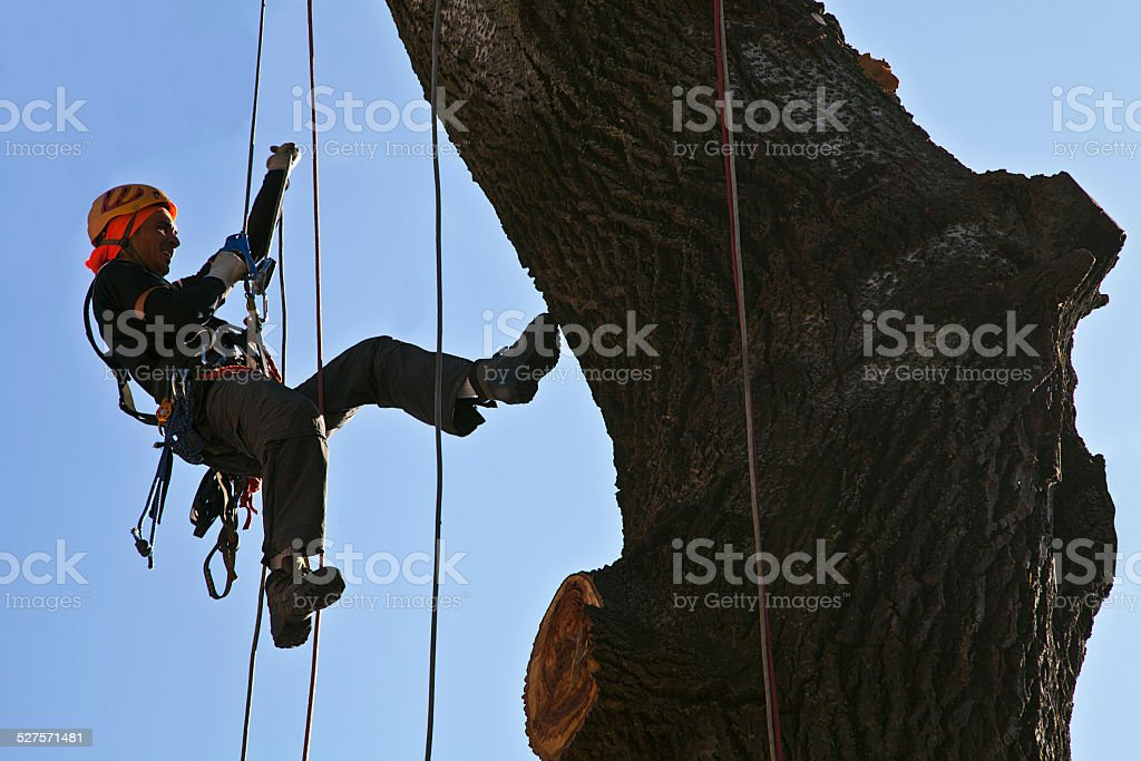 Alpinist climbing a tall tree with a climbing equipment stock photo