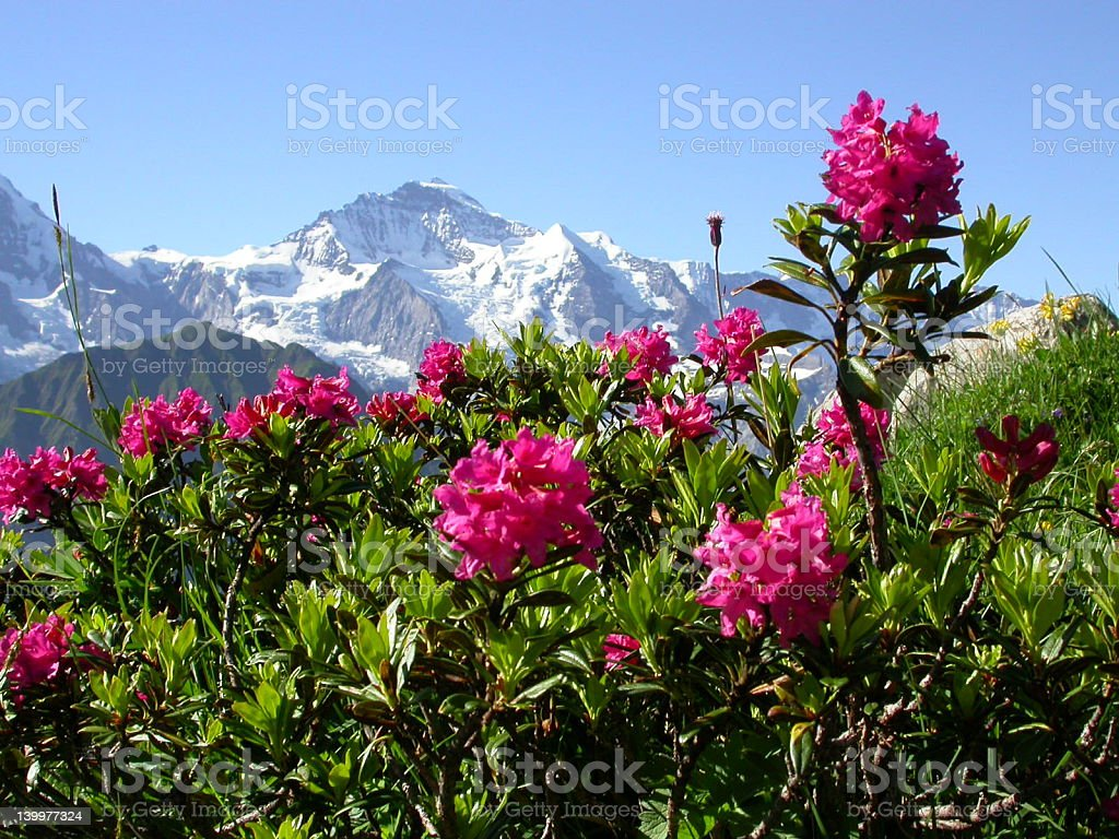 Alps and flowers stock photo