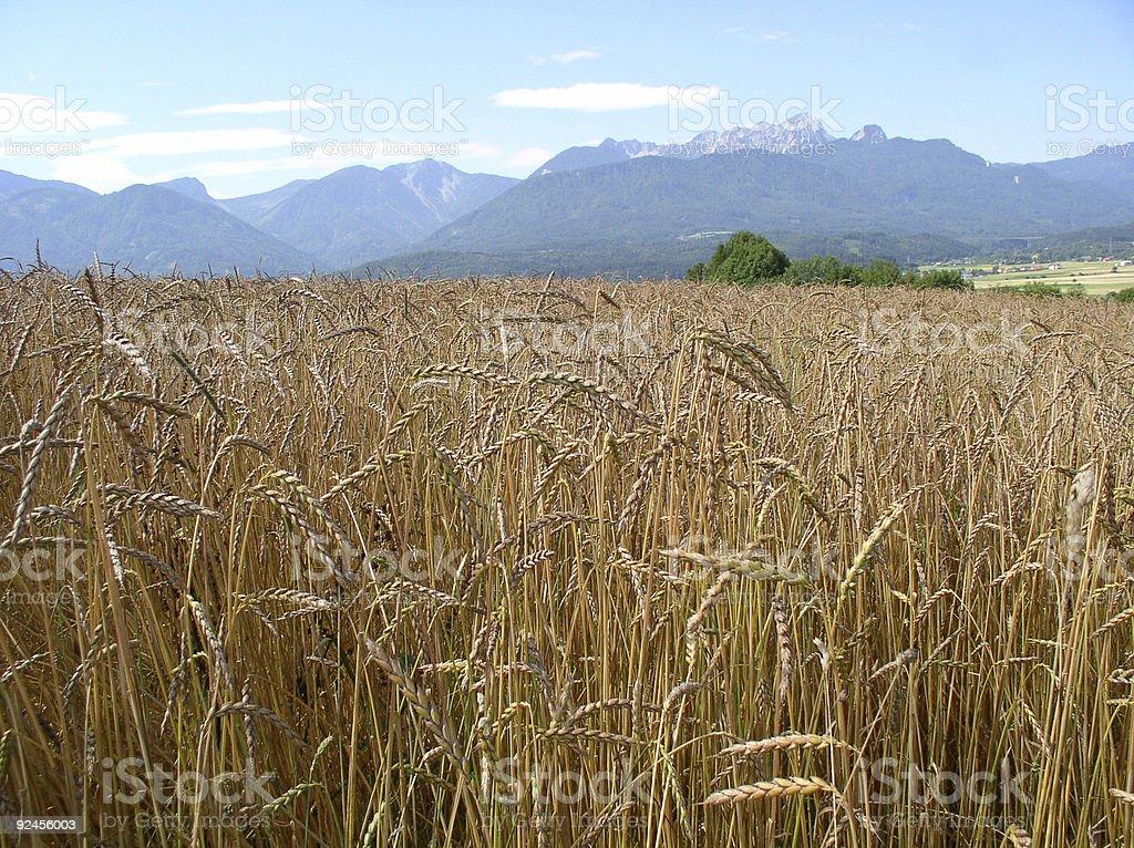 Alps and wheatfield royalty-free stock photo