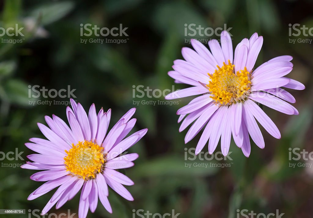 Alpen - Aster stock photo