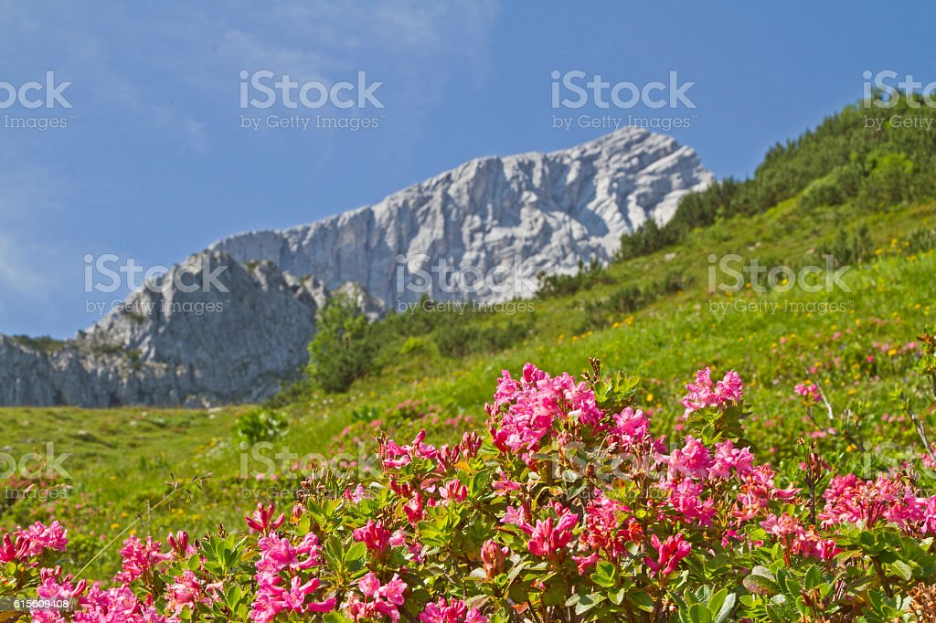 Alpspitze with rhododendrons stock photo