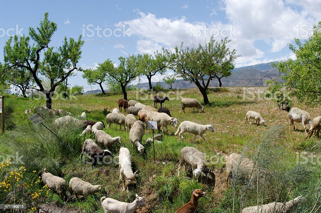 Alpujarra flock of sheep and goats in Sierra Nevada Spain stock photo