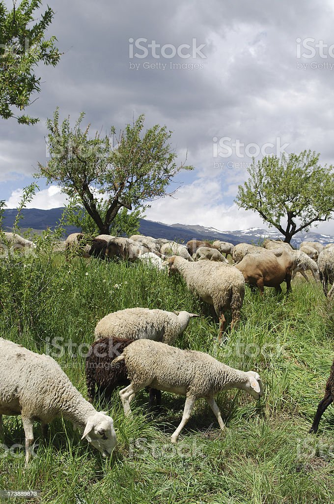 Alpujarra flock of sheep in Andalusia Spain royalty-free stock photo