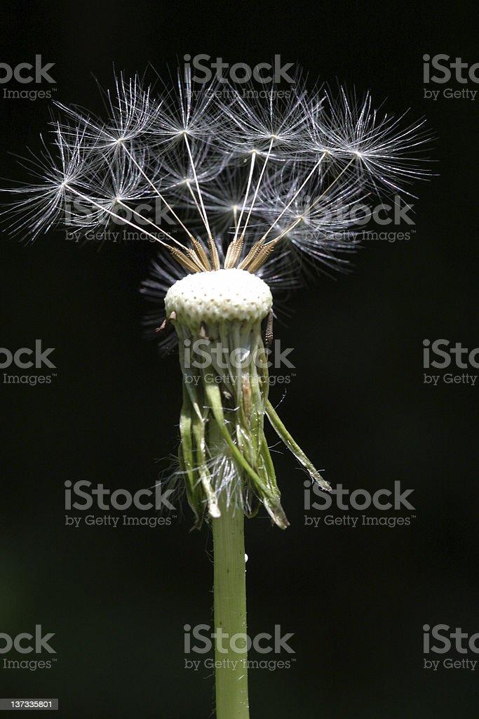 Already used dandelion royalty-free stock photo