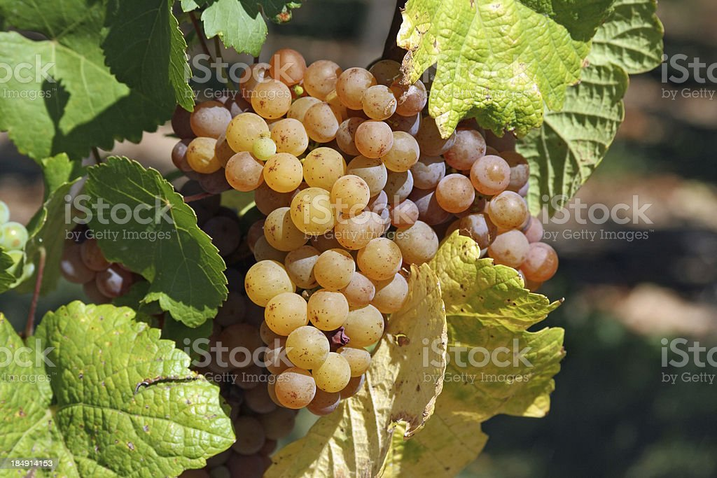 Alsace: Bunch of Grapes in the vineyards of Saint Hippolyte stock photo