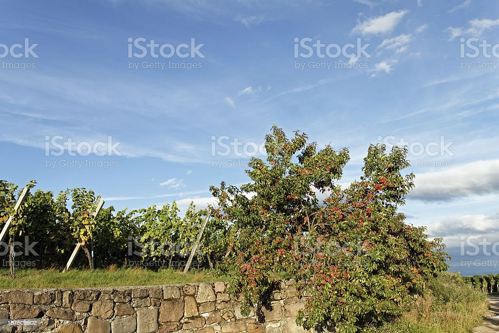 Alsace - Peach tree in the vineyards stock photo