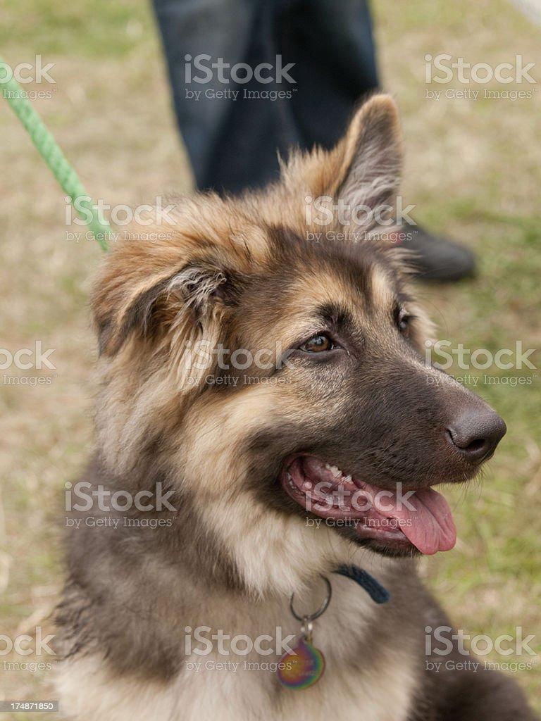 Alsatian puppy royalty-free stock photo