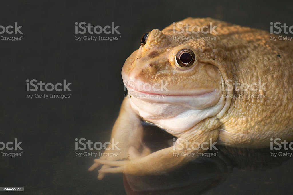 also known as the Common Water Frog stock photo