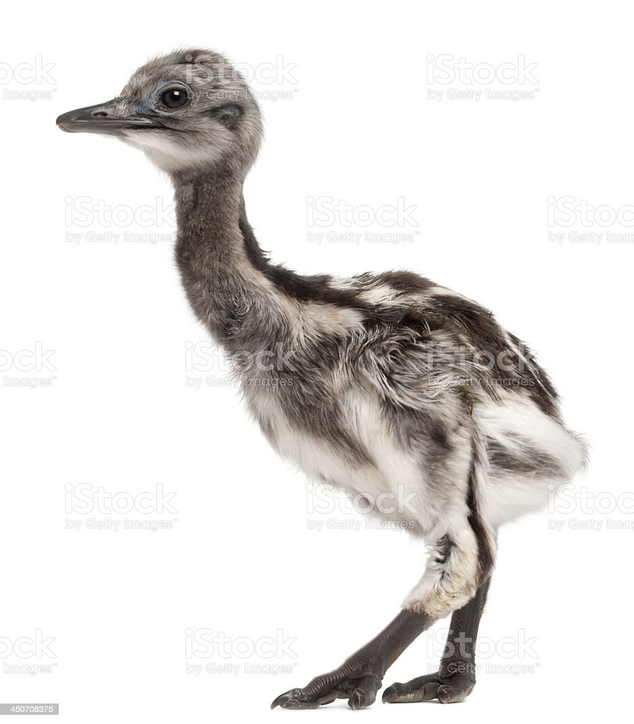 also known as the Lesser Rhea, 1 week old stock photo