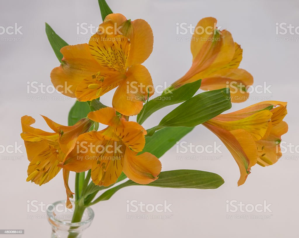 Alstroemeria aurea stock photo