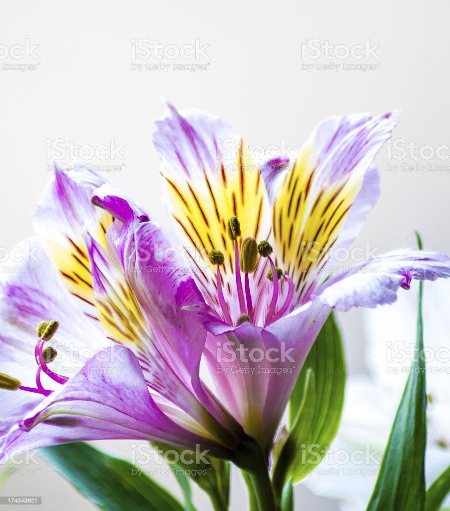 Alstroemeria flower royalty-free stock photo