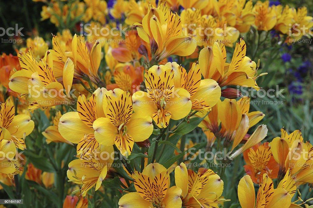 Alstroemeria Golden Delight stock photo