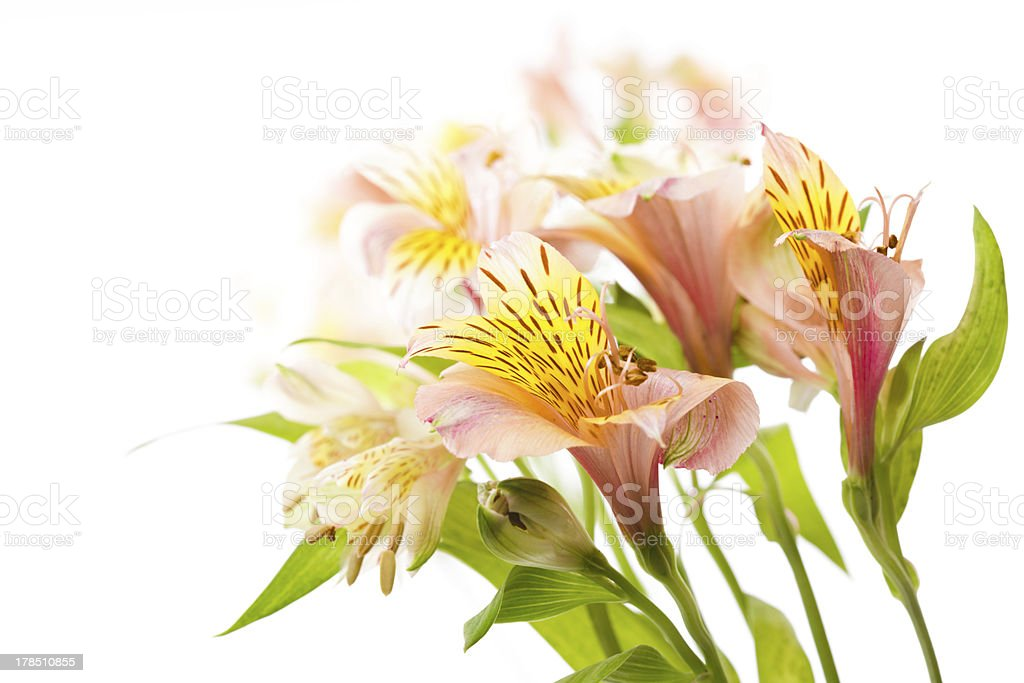 Alstroemeria isolated royalty-free stock photo