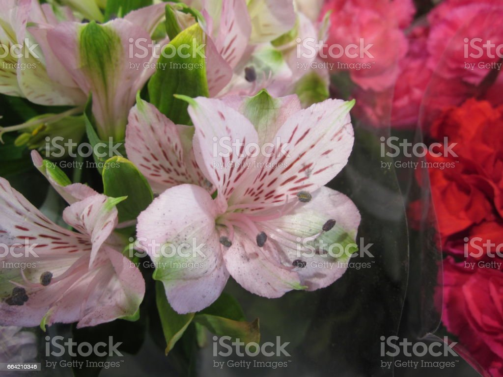 Alstroemeria or Peruvian lily or Lily of the Incas flower. stock photo
