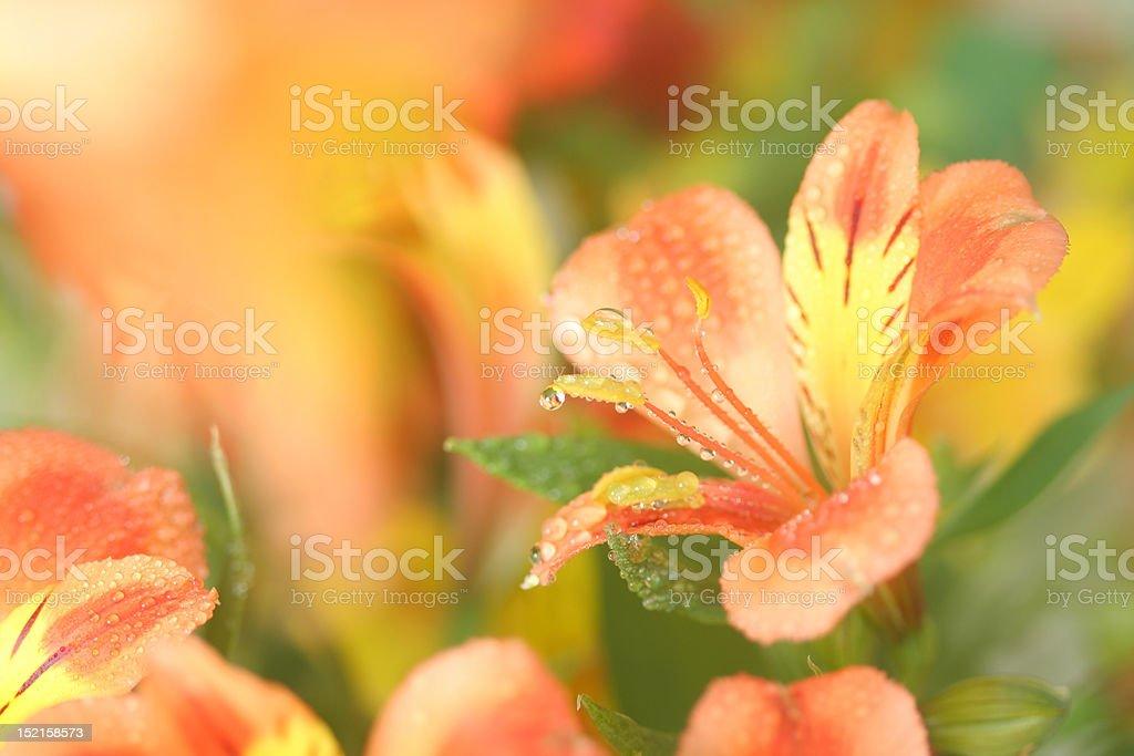 alstroemeria. royalty-free stock photo