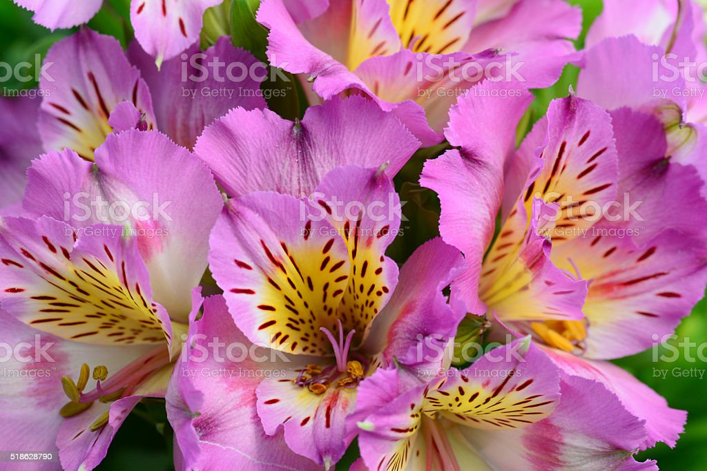 Alstromeria flowers stock photo