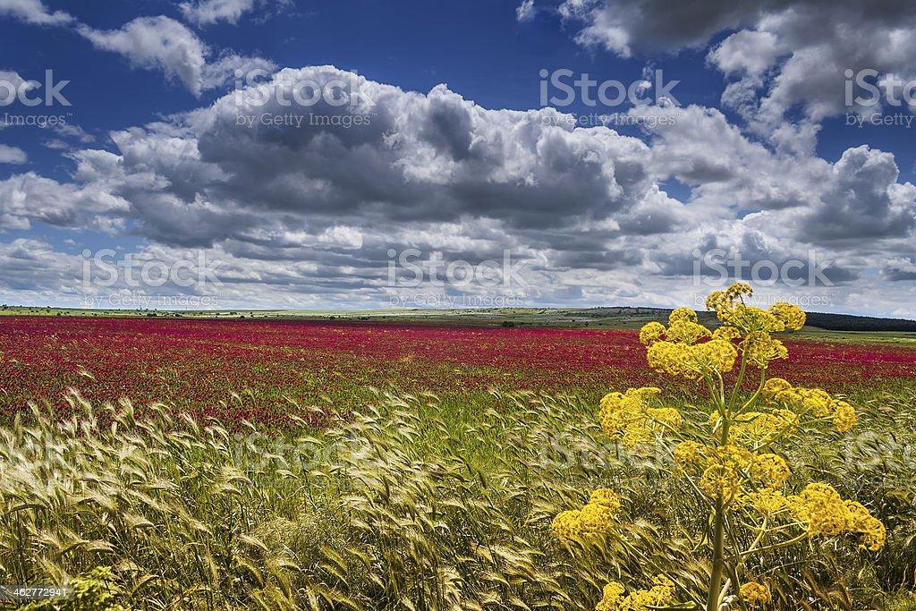 SPRING. Alta Murgia National Park: field of purple flowers.-(Apulia) ITALY- stock photo
