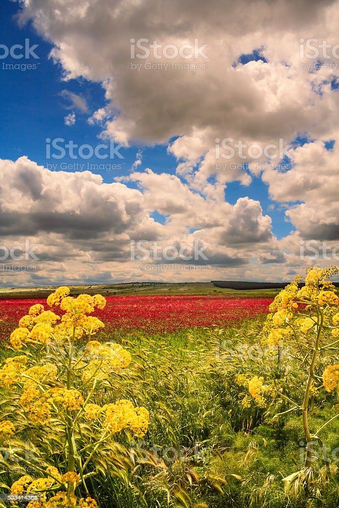 SPRING. Alta Murgia National Park: field of purple flowers.-(Apulia) ITALY- stock photo