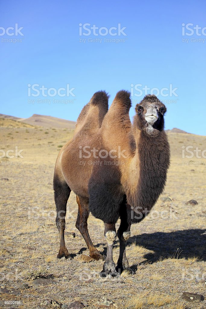 Altai camel stock photo