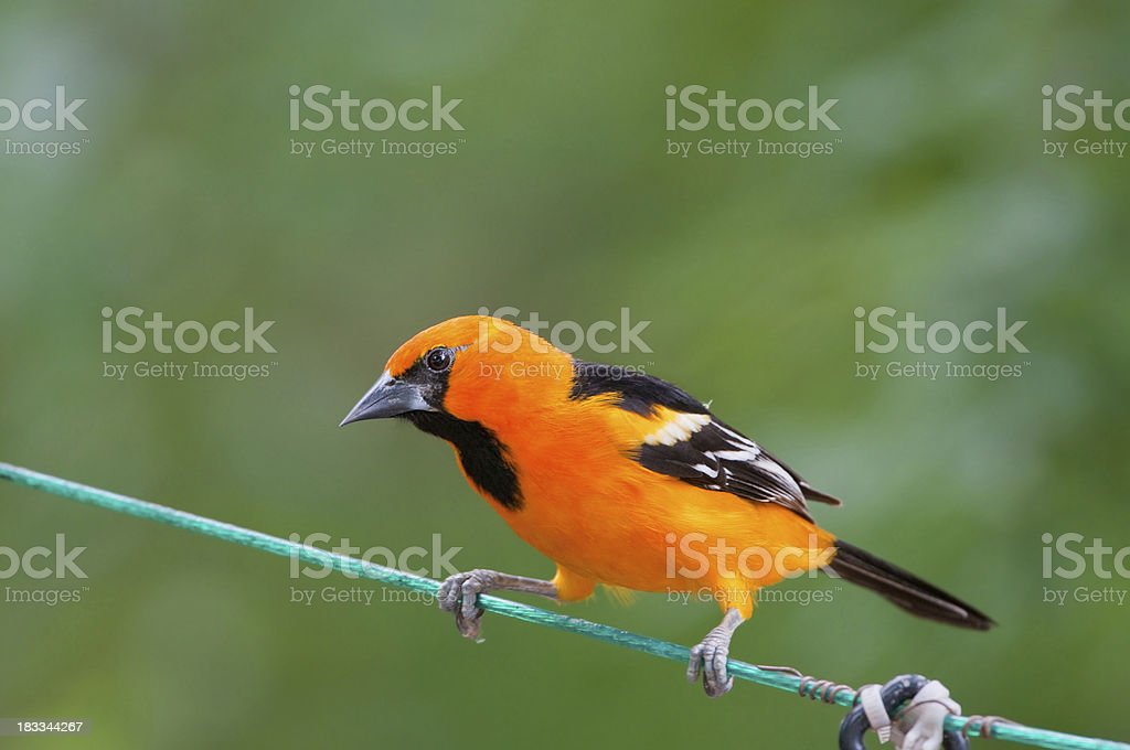 Altamira Oriole on a Wire stock photo