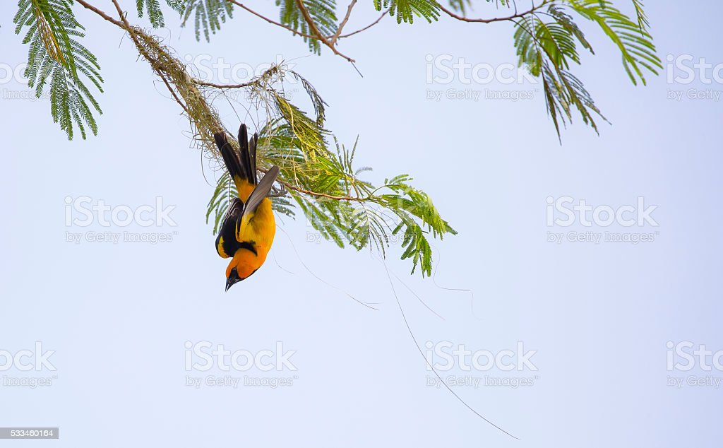 Altamira Oriole stock photo