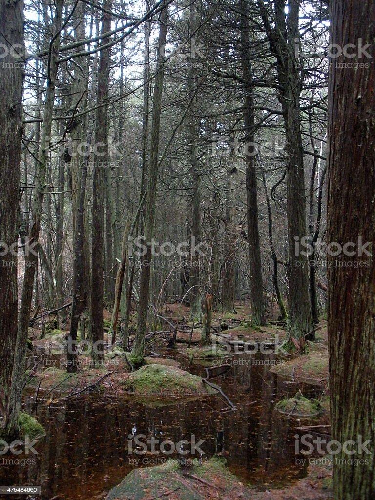 Altantic White Cedar Swamp stock photo