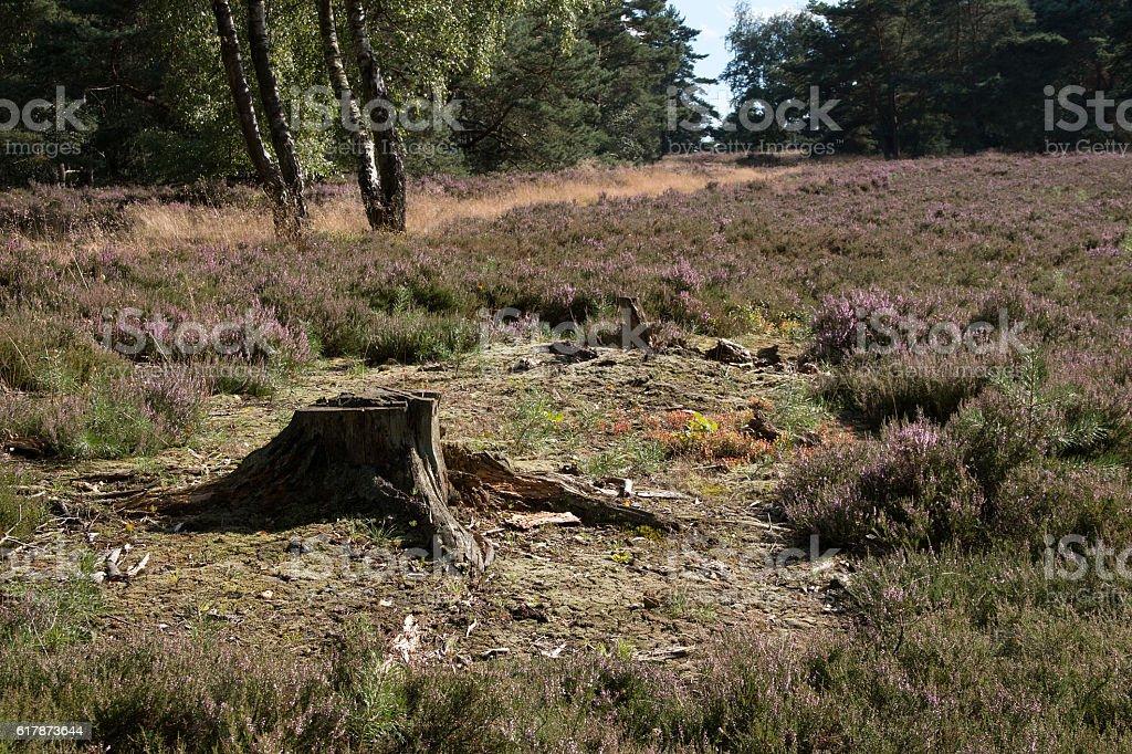 Alter Baumstumpf zwischen Besenheide - Old tree stump between heather stock photo