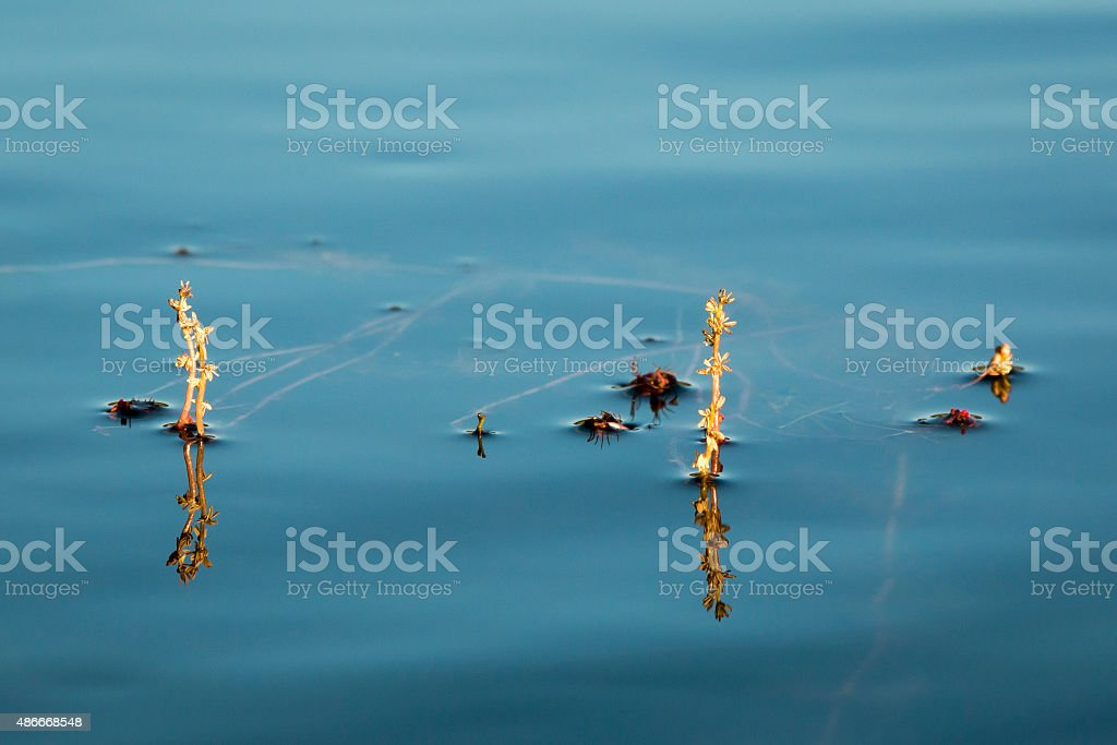 Alternate water-milfoil inflorescence stock photo