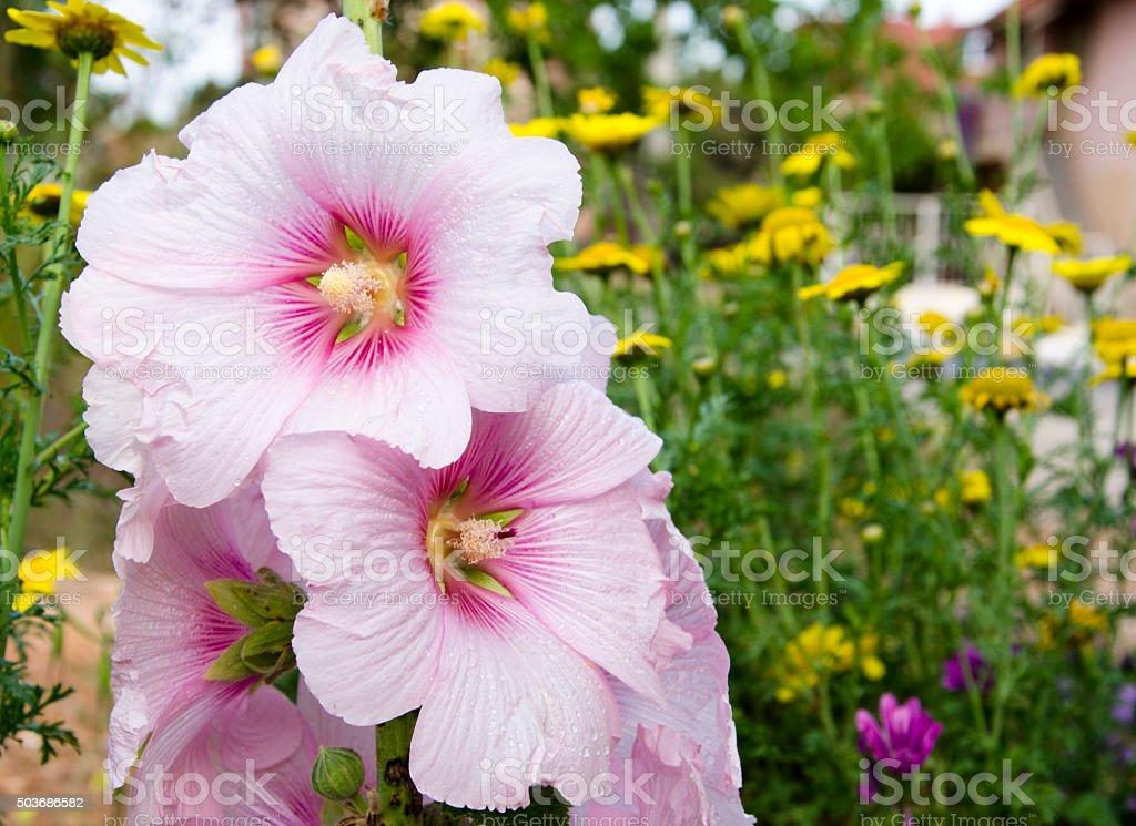 Althaea Flower royalty-free stock photo