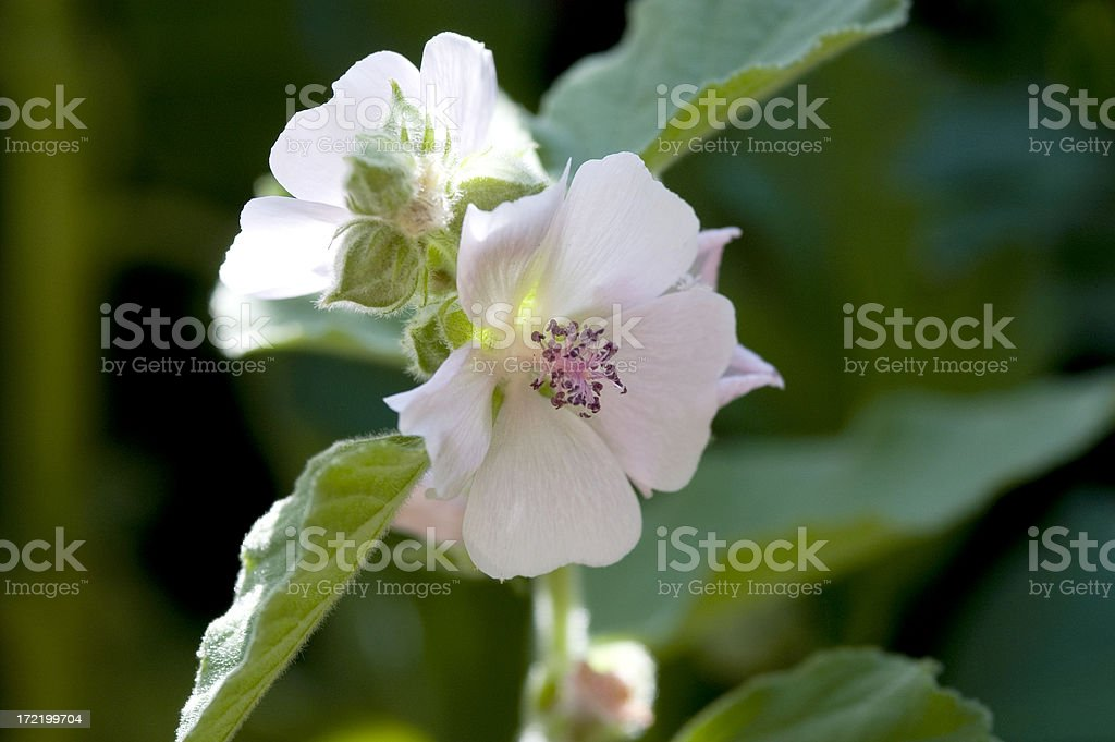 Althaea officinalis stock photo