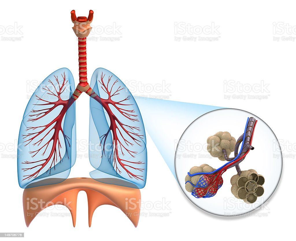 Alveoli in lungs - blood saturating by oxygen royalty-free stock vector art