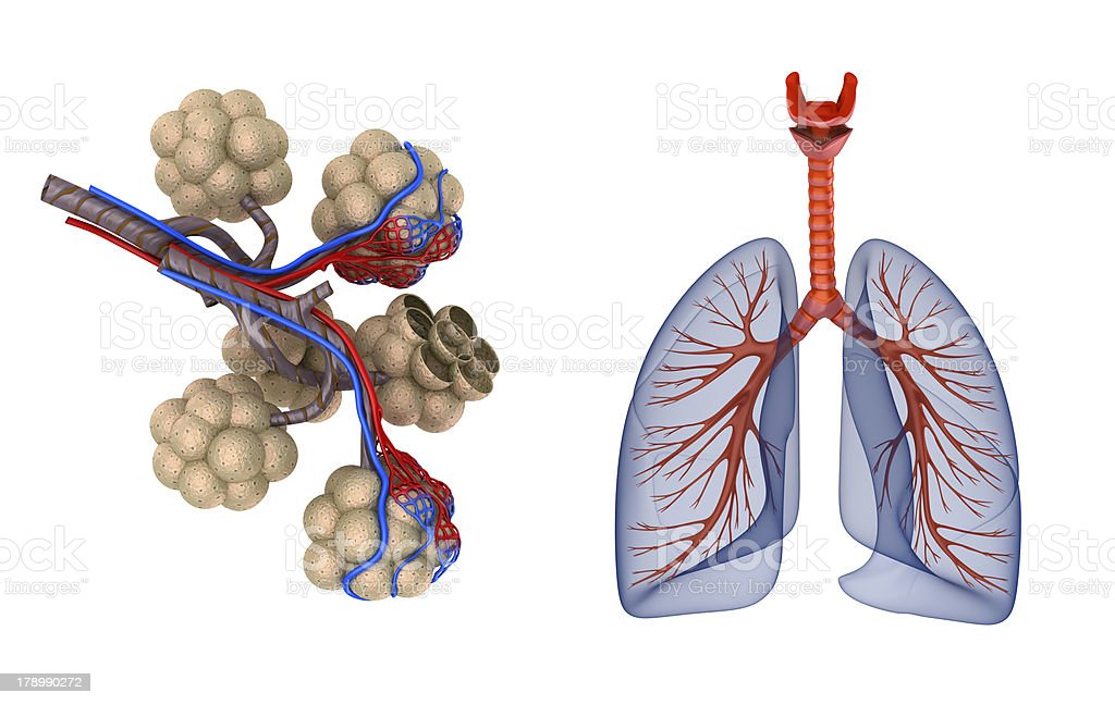 Alveoli in lungs stock photo