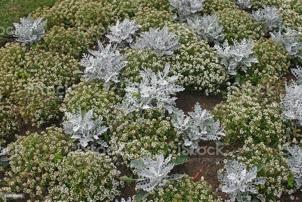 Alyssum and Senecio bedding plants stock photo