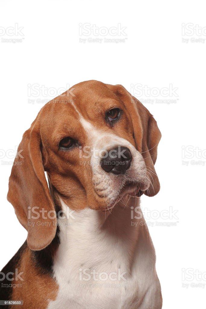 I am a Beagle royalty-free stock photo