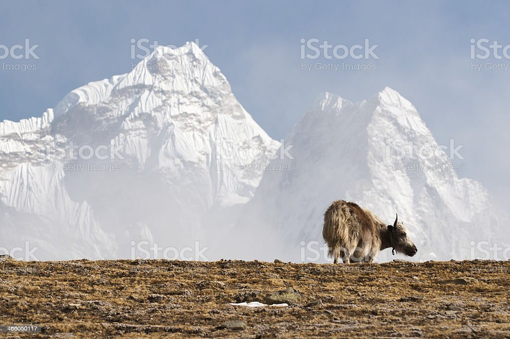 Ama Dablam and Yak royalty-free stock photo