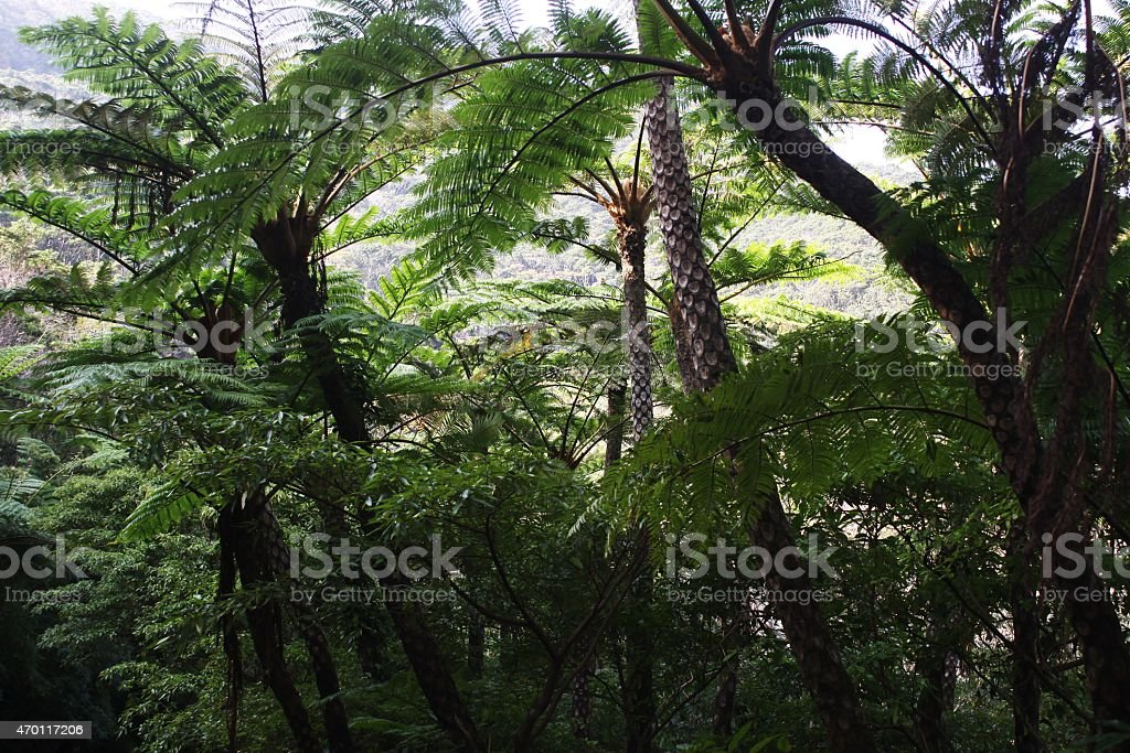 Amami Oshima virgin forest stock photo