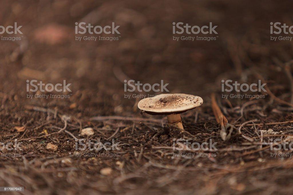 Amanita augusta mushroom stock photo