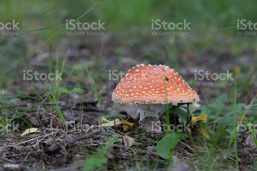 Amanita in the forest royalty-free stock photo