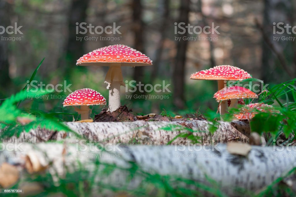 Amanita in the forest stock photo